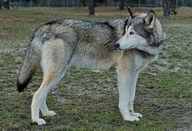 husky wolf mix. i want one!!!