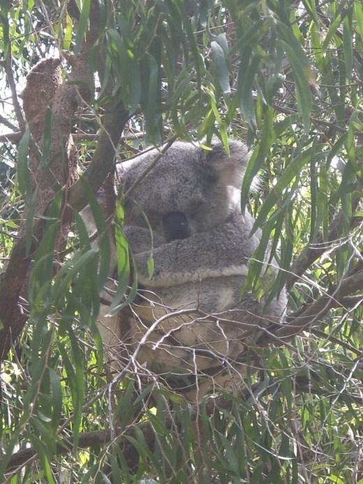Koala in Perth Zoo
