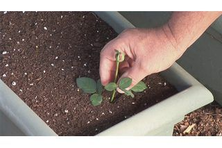 How to Grow Roses From Long Stem Cut Roses | eHow