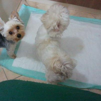 Tapetes Higiênicos para Cachorros e Gatos