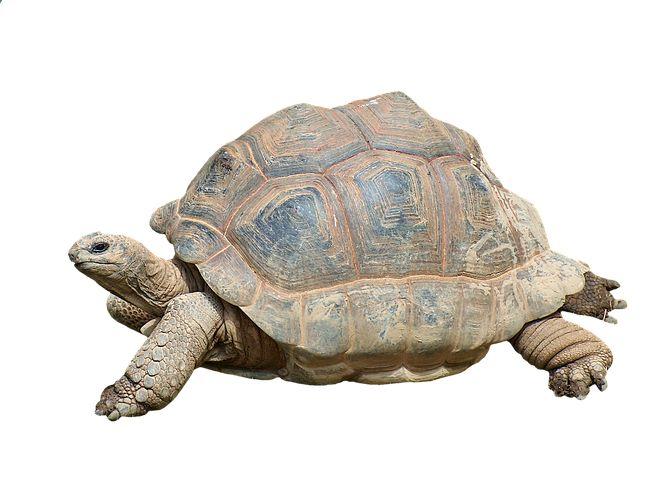 Tortuga, Reptil, Tortuga Gigante
