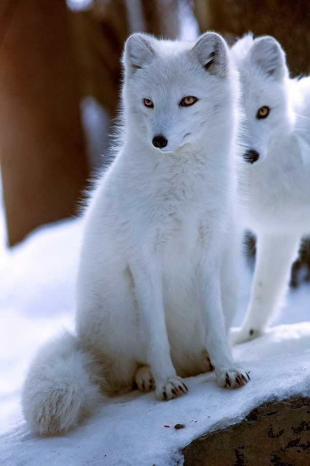 Белый и черный лис картинки