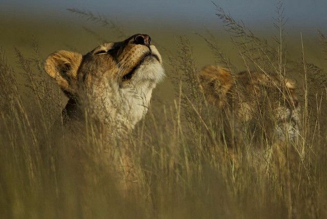 Intimate Life of Lions