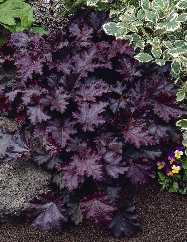Purppurakeijunkukka Palace Purple - Viherpeukalot Oy - Puutarhamyymälä netissä
