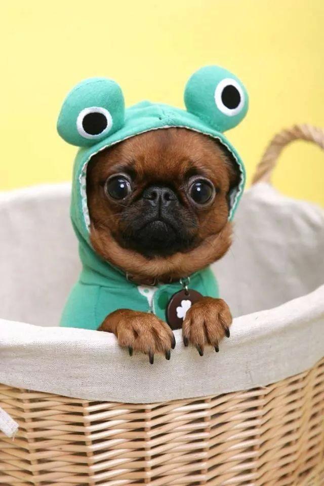 """""""Tiens , je vois double?""""  Trop mignon ce petit chien avec son petit costume de grenouille! Ça lui fait une petite tête rigolote! ;)"""