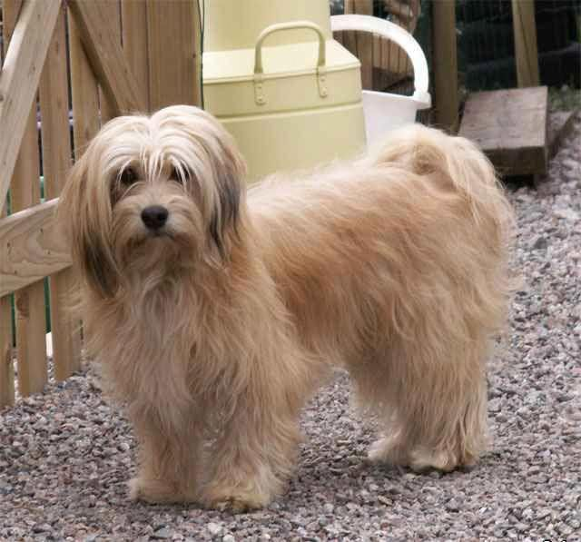 Discover The Funny Havanese Pups Size Havaneserofinstagram Havanesestee Havanesedogsfullgrown Havanese Havanese Puppies Havanese Dogs