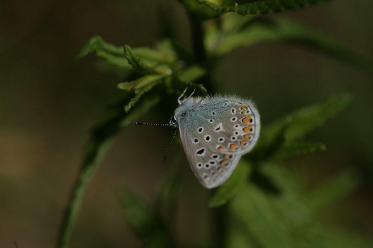 2014 05 16 icarusblauwtje