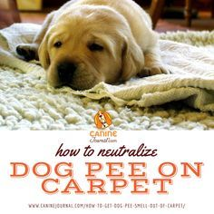 Did your dog pee on your carpet? Not a problem: