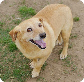 10/29/16-Iola, TX - Corgi/Dachshund Mix. Meet Shorty, a dog for adoption. http://www.adoptapet.com/pet/15108747-iola-texas-corgi-mix