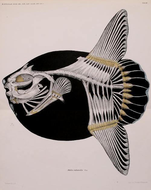skeleton of mola mola as mola rotunda - the ocean sunfish. 1898.
