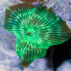 Ventes de Discosoma strié vert fluo dans notre boutique en ligne pour sublimer votre aquarium récifal - Coral Biome, Live Cultured Corals