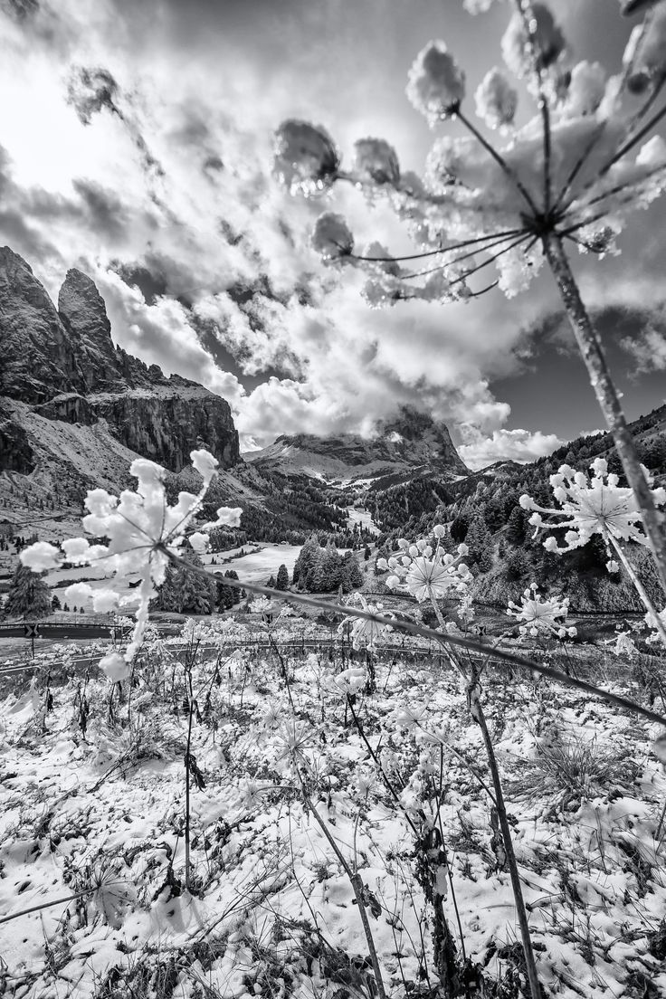 White flowers - First snow on Passo Gardena covers the flowers.