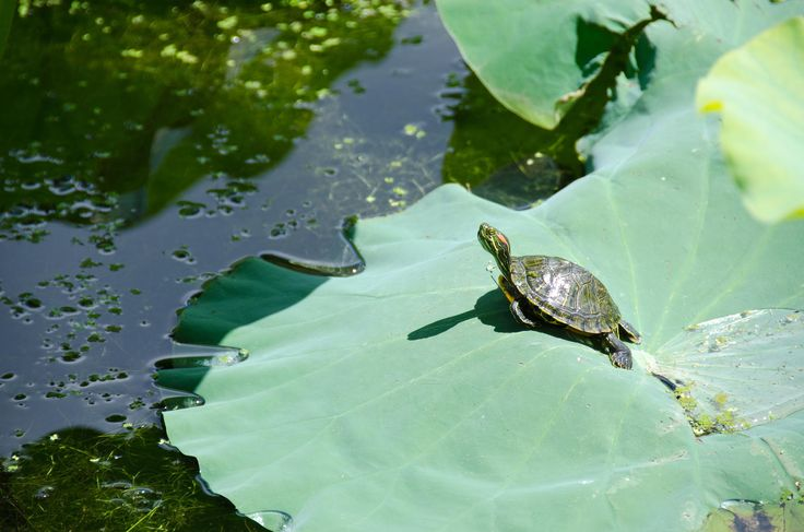 Photograph Red-eared slider, Trachemys scripta elegans by Andreas Altenburger on 500px