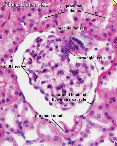Corte de glomerulo renal, teñido con Hematoxilina - eosina y un aumento de 40x