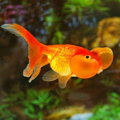 Blue bubble eye goldfish - photo#43