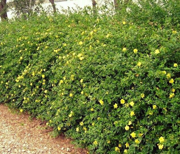 54 best medium zone 7 shrubs images on pinterest plants for Tall evergreen shrubs
