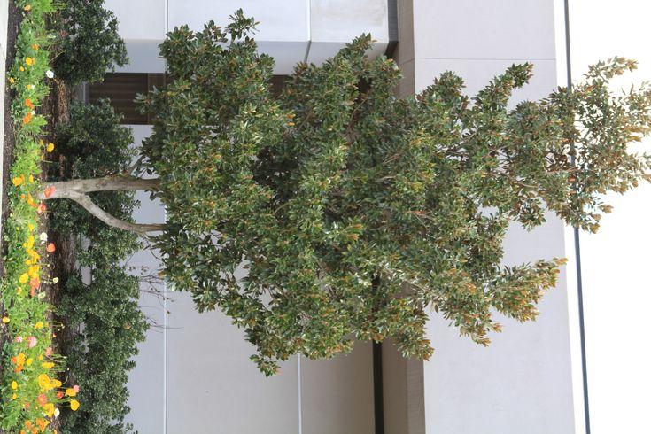 die besten 25 dwarf magnolia ideen auf pinterest stern magnolie japanischer magnolienbaum. Black Bedroom Furniture Sets. Home Design Ideas