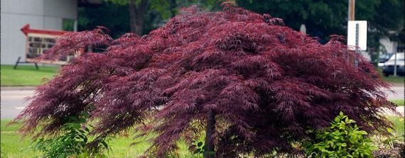 Crimson Queen Japanese Maple In 3 Gallon Pot 3 5 Feet Tall