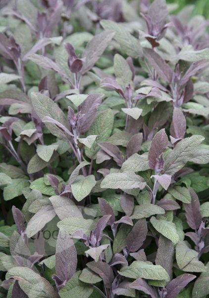Salvia officinalis 'Purpurascens', purple sage. Lilac-blue flowers in early to mid-summer and aromatic red-purple young leaves maturing to grey-green. Purple sage looks stunning planted next to golden oregano in a sunny herb garden. Freshly chopped leaves can be used to make stuffings, herb tea and sage butter. A useful and attractive container plant for a sunny site.