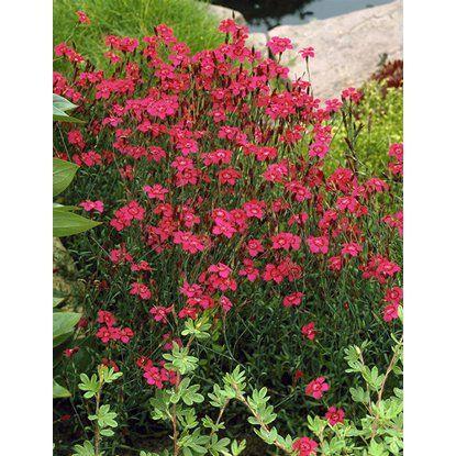 Hvozdík kropenatý Leuchtfunk červený průměr květináče cca 9 cm