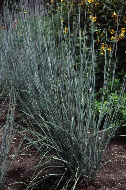 Best 25 tall ornamental grasses ideas on pinterest for Ornamental grasses for front yard