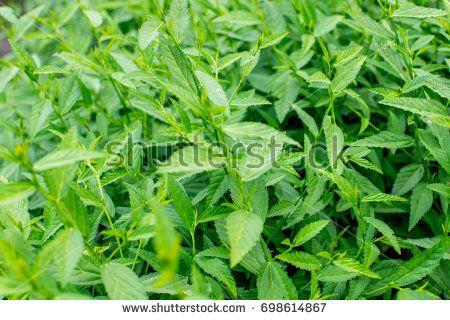Medicinal Plant : Sida Rhombifolia also known as Malvaceae and Sahdev