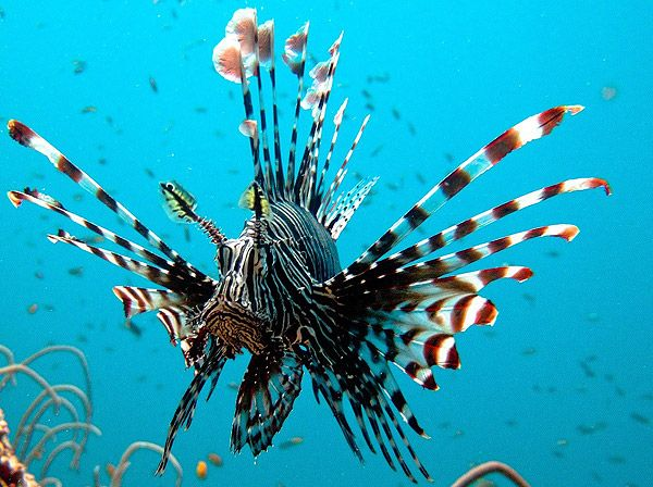 Peixe-leão: Common Lionfish, Sea Life, Koh Lanta, Marines Life, Scubas Diving, Underwater Photography, Koh Phi, Diving Koh, Diving Spots