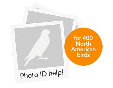 Merlin bird photo ID program by the Cornell Ornithology Lab. Upload a photo, click on the bird's bill, eye, and tail and the computer will help you ID the species.