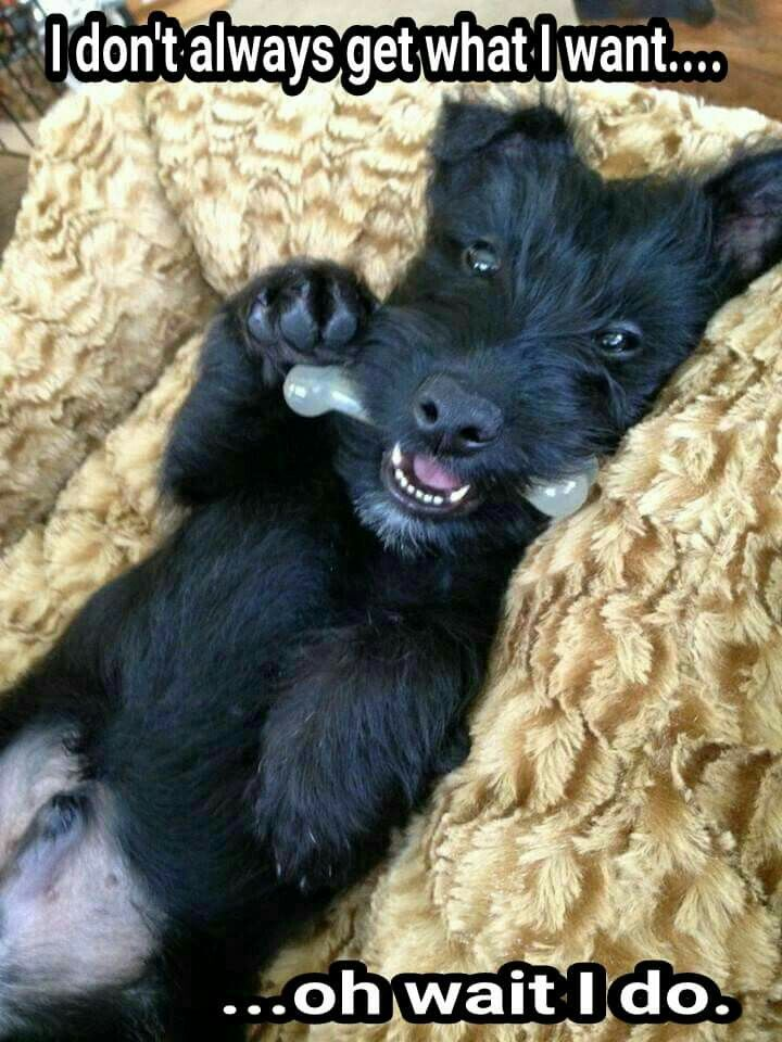 Scottie puppies are too cute.