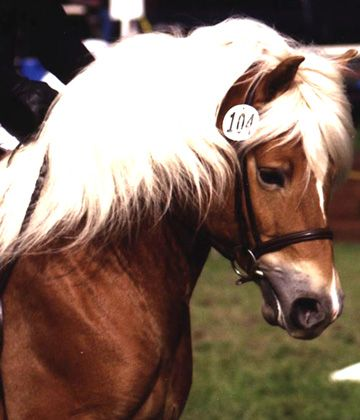 Haflinger Horses ~ My daughter's first horse was a Halflinger named Colorado ~ He was the best!!!