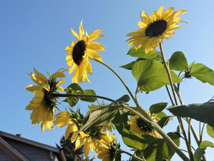 The 25 best growing sunflowers from seed ideas on pinterest growing sunflowers from seed fandeluxe PDF