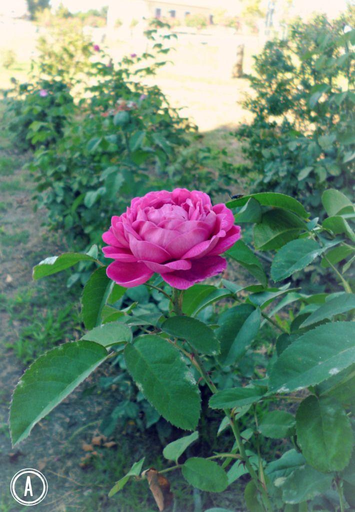 La Rosa di Paestum, una delle varietà più antiche al mondo.  Campania, Italy