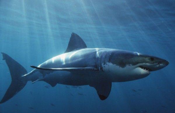 Significado de Soñar con un tiburón o tiburones