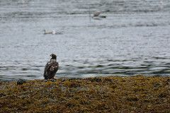 Sitka Alaska - Sitka National Historical Park - Totem Trail - Indian River - Immature Bald Eagle