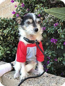 Costa Mesa, CA - Terrier (Unknown Type, Medium) Mix. Meet Donner, a dog for adoption. http://www.adoptapet.com/pet/17275505-costa-mesa-california-terrier-unknown-type-medium-mix