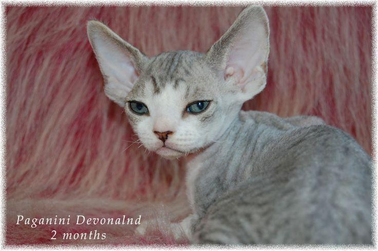 Питомник девон рексов DEVONLAND: Красивый мальчик девон-рекс Паганини. Продажа котя...