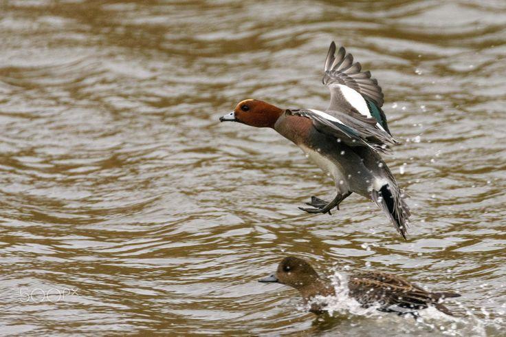 landing water - a wigeon landing in the water