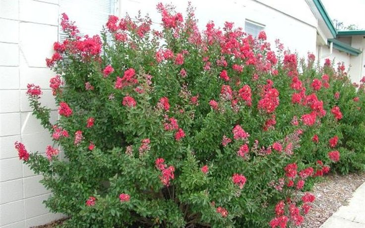 Crape Myrtle Shrubs for privacy | Victor Red Dwarf Crape Myrtle - 3 Gallon - Single Trunk - Shrubs for ...