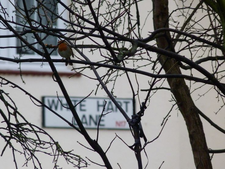 The Robin of White Hart Lane!!
