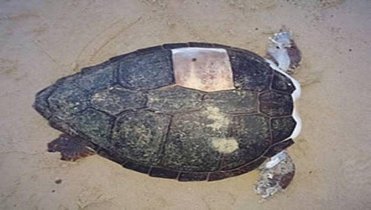 Αποτρόπαιο: Αποκεφάλισαν δέκα θαλάσσιες χελώνες στη Νάξο (φωτό)