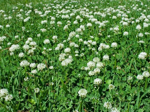 Clover for Nitrogen Fixation