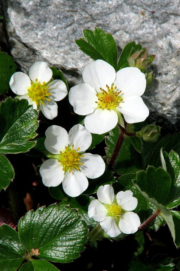 Wild Strawberry by Frank Townsley
