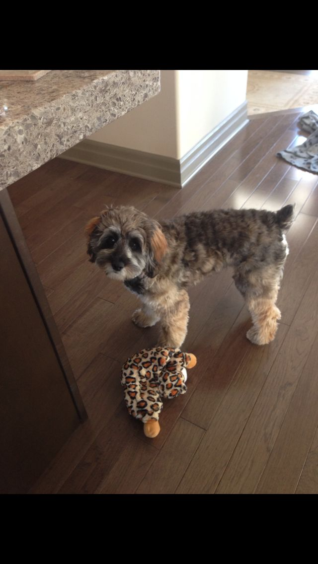 Russel is my pal; I did bite his head off but, I still do love him xo #toy #cockapoo #love