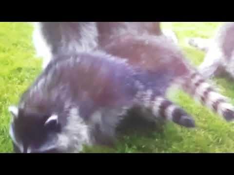 http://gogreenpestcontrol.ca/relocating-raccoons/ 