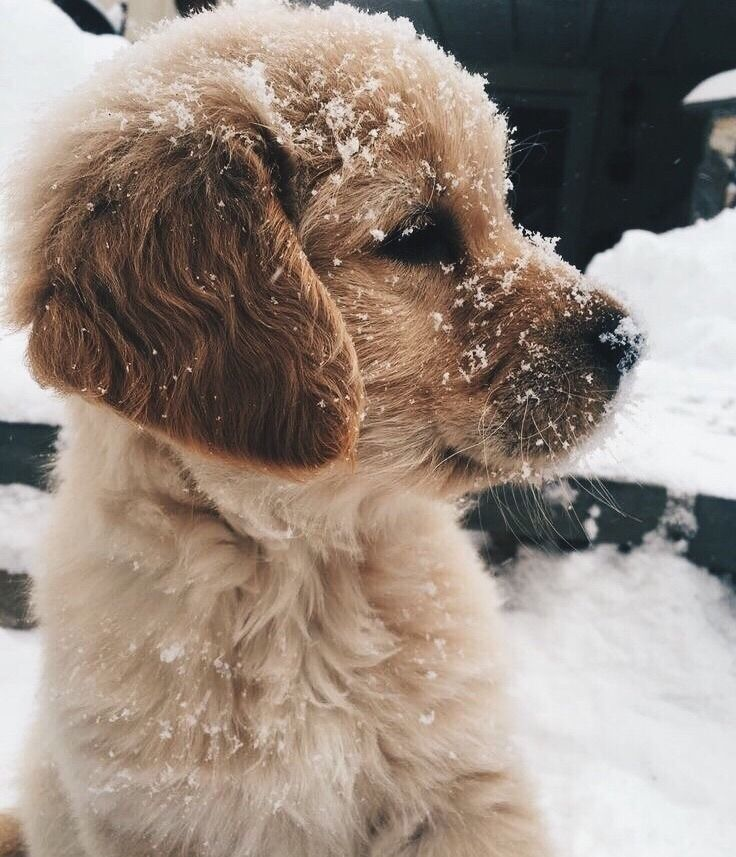 Golden Retriever Puppy In The Snow Cute Dogs Cute Little
