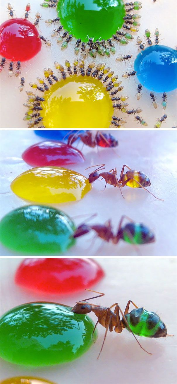 Translucent Pharaoh Ants Eating Colored Liquids