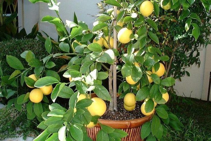 Limoni, proteggili dal freddo…