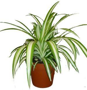 1000 images about plantes de bureau on pinterest. Black Bedroom Furniture Sets. Home Design Ideas