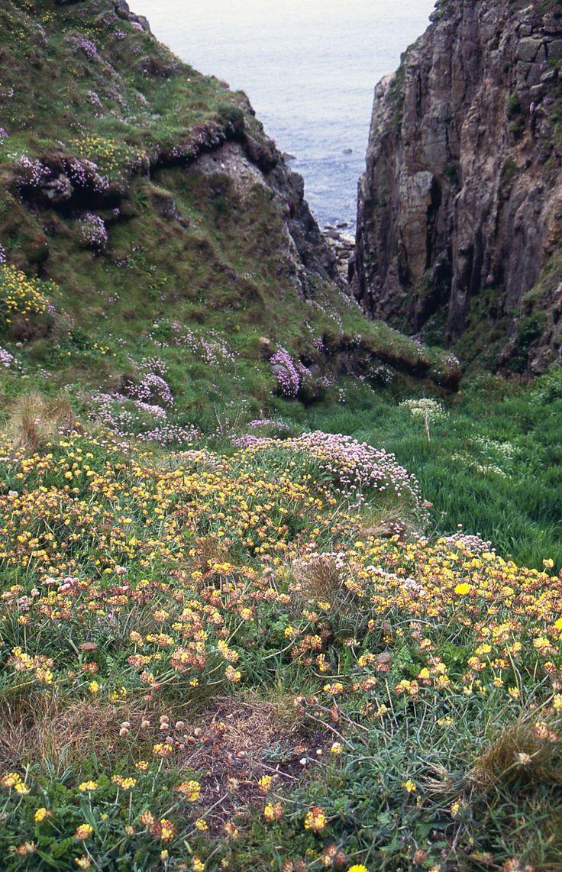 Wildflowers by the clifftop path near Land's End, Cornwall, Fuji Velvia slide film, Nikon F70 #cornwall #slidefilm #filmphotography #analoguephotography #landsend #cliffs #ishootfilm
