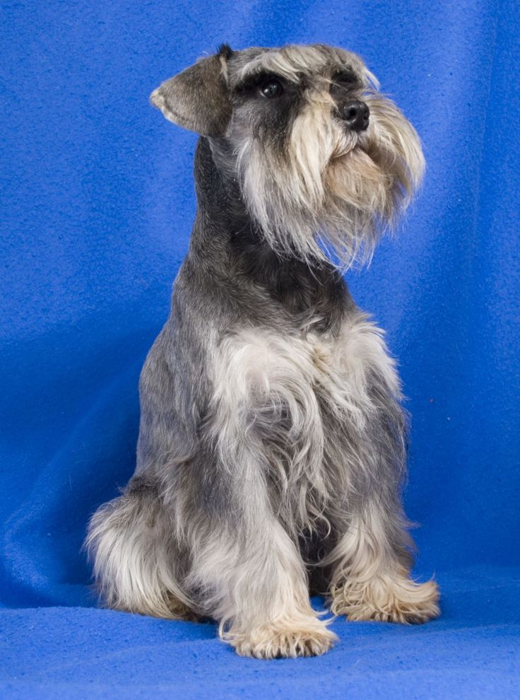 PEPPER & SALT MINIATURE SCHNAUZER FOR STUD | Hereford, Herefordshire | Pets4Homes